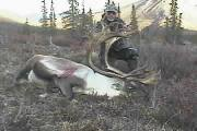 Picture of Trophy Bull Caribou Harvested