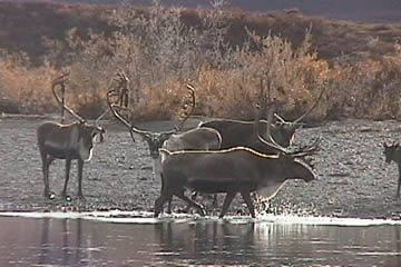 Unguided Caribou Hunting in Alaska