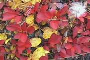 Picture of Fall Berry Bushes