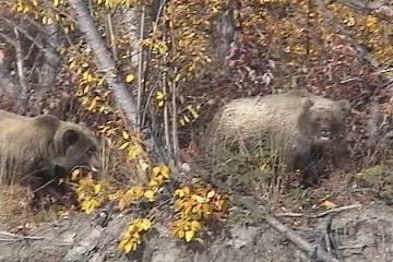 Angry Grizzlies on an Alaska Hunt