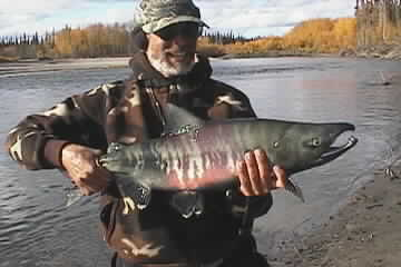 Picture of Calico Salmon Fishing in Alaska
