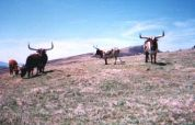 Longhorns, Hump Mountains