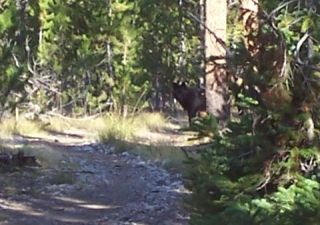 Black Timber Wolf, Montana