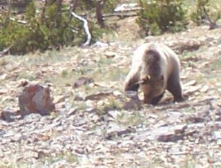Grizzly Bears, Montana