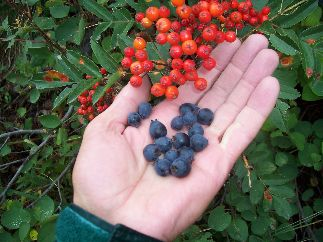 Service Berries, (Blue) with Mountain Ash Berries