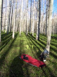 Spring Aspen Trees