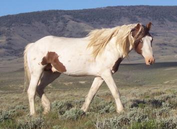 Red Desert Wild Horse